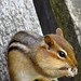 Fun little chipmunk having a snack. Erin, On. Canada 20MAY12