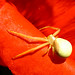 Crazy Spider in the poppies. Tigani's house in Waterdown, ON 21MAY12